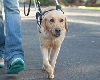 a guide dog walking next to person